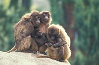 Gelada Baboon , Papio gelada , Africa , Adults with youngs warming up