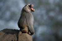 Hamadryas , Papio hamadryas , Africa , Adult male jawning