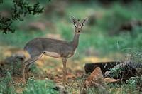 Kirk`s Dikdik , Rhynchotragus kirki , Samburu Game Reserve , Kenya , Africa , Adult female