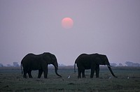 African Elephant , Loxodonta africana , Chobe National Park , Botswana , Africa , Adults sunset