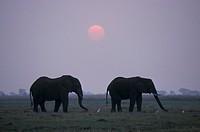 African Elephant , Loxodonta africana , Chobe National Park , Botswana , Africa , Adults sunset