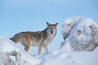Coyote , Canis latrans , Montana , USA , Adult male in snow , howling