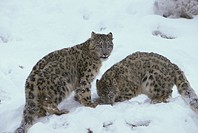 Snow Leopard , Uncia uncia , Asia , Adults , Pair , couple in snow