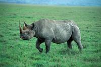 Black Rhinoceros, Hook lipped Rhinoceros , Diceros bicornis , Ngorongoro Crater , Tanzania , Africa , Adult