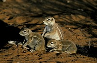 Ground Squirrel , Xerus inaurus , Kalahari Gemsbok National Park,  South Africa , Africa , Family at cave , at den , in last sunlight