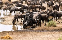 Wildbeest (Connochaetes taurinus) migration. Serengeti National Park, Tanzania