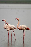 Greater Flamingos (Phoenicopterus ruber). Group of adults standing on shallow waters while it rains. Fuente de Piedra Lagoon. Málaga province. Spain