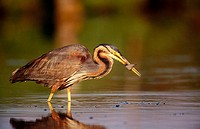 Purple Heron (Ardea purpurea) with fish