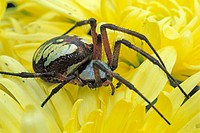 Black-and-yellow Garden Spider (Argiope aurantia) photographed in Oregon, USA, Family: Araneidae, Orb Weavers