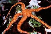 Daisy Brittle Star (Ophiopholis aculeata): this is a 3' star, photographed in the Pacific Northwest, British Columbia, Canada.  It is a cold water sta...