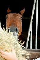 A horse being fed hay (thumbnail)