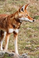 Simien Jackal (Canis simensis), Bale mountains (4000-4300 m.). Ethiopia