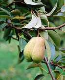 Bartlett pears (Pyrus communis), Hood River valley. Hood River County, Oregon, USA