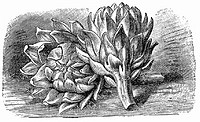 Artichokes (illustration) (thumbnail)