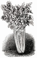 Celery (illustration)