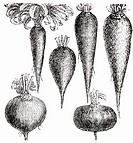 Various root vegetables (illustration)