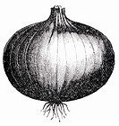 Onion (illustration)