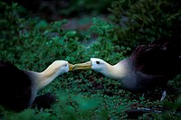 Side profile of two Waved Albatrosses mating (Phoebastria irrorata)
