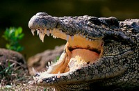 Close-up of a Cuban Crocodile (Crocodylus rhombifer)