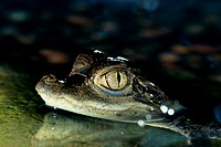 Close-up of a Spectacled Caiman (Caiman crocodilus)