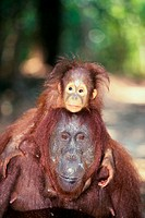 Bornean Orangutan carrying its young on its shoulders (Pongo pygmaeus)