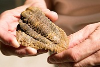 Trilobite fossil (Diacalymene ouzregui) from Alnif in the Moroccan Sahara. Trilobites are ancient sea creatures that lived millions of years ago, and ...