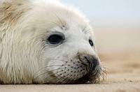 Grey Seal (Halichoerus grypus), pup lying on beach. U.K
