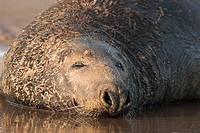 Grey Seal (Halichoerus grypus), male dozing. Donna Nook National Nature Reserve, England. UK