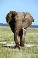 African Elephant (Loxodonta africana), Etosha National Park. Namibia