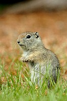 Belding's Ground Squirrel (Spermophilus beldingi)