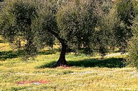 Macaronesian Olive (Olea europaea cerasiformis) trees and wildflowers. Zahara de la Sierra, Cádiz province. Andalusia, Spain