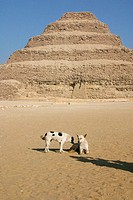 Homeless dogs in front of the Pyramid of Djoser at Saqqara necropolis. Egypt