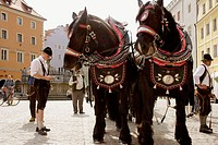heavy horses drawing a beer coach, traditional procession, Regensburg / Ratisbone, Upper Palatinate / Oberpfalz, Bavaria, Germany