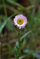 Oregon, Cascade Mountain´s, Alice´s Fleabane (erigeron alicaea).