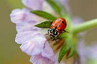 Ladybird (Hippodamia convergens)