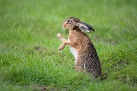 Brown hare (Lepus capenis).