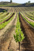 Vineyards in La Múnia, Alt Penedès. Barcelona province, Catalonia. Spain