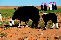 Grazing sheep in the Saudi Arabian desert