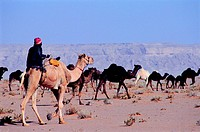Herd of camels in the desert of Saudi Arabia