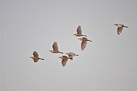 Cattle Egret (Bubulcus ibis). Flying group. Spain.