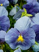 Close up of blue Pansies with rain spots