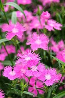 """Bouquet Purple"" Dianthus"
