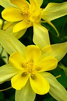 Golden Columbine flower, (Equilegia vulgaris)