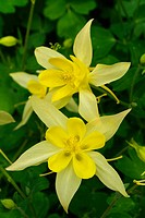 Golden Columbine flower (Equilegia vulgaris)