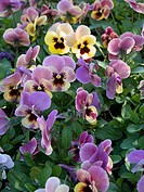 Purple and yellow pansies in garden