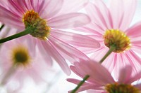 Pink Daisies with sunlight