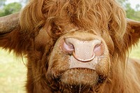 Highland Cattle, Bull. Scotland. UK