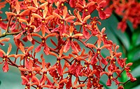 10221840, orchid, Renanthera Kalsom, red, blossom, flourish, Blütendolde, Singapore, Asia,