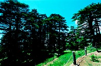 Cedar trees in Lebanon