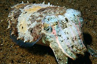 Needle cuttlefish, Sepia aculeata, at night, Dumaguete, Negros Island, Philippines